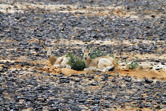 Zarqa Governorate, Jordan: Baby Reem Gazelle in Shaumari Reserve