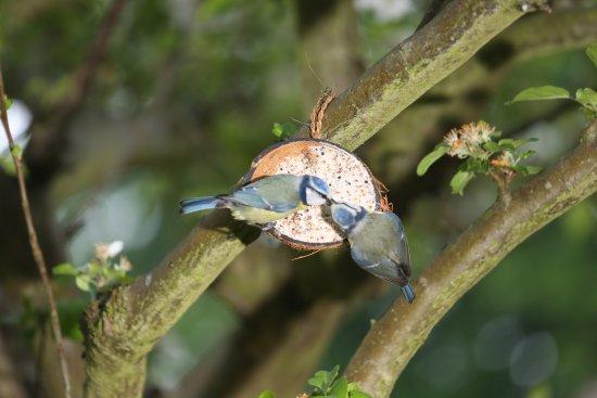 Babworth, UK: Bluetits feeding young on the apple tree.