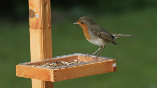 Babworth, UK: One of 4 Robins in our garden.