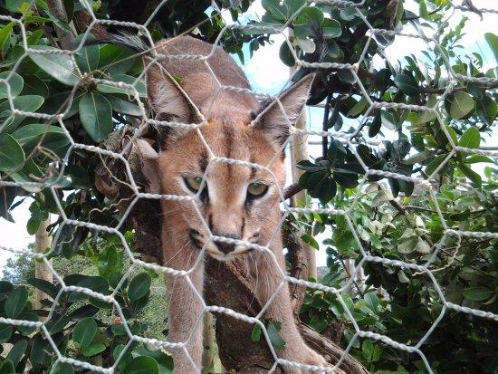 Seaview Lion Park: Lynx