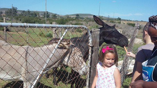 Uitenhage, South Africa: Feeding the two resident donkeys