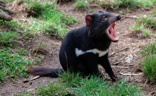 ‪‪Riverside‬, أستراليا: The Tasmanian Devil‬
