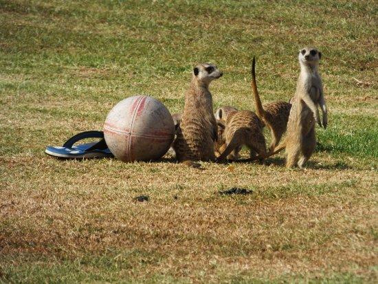 Madi-Madi Karoo Safari Lodge: Meerkats