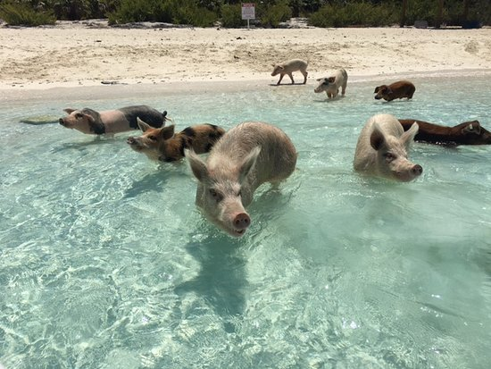 Robert's Island Adventures : He made sure we got to the pigs before the larger groups - which was so ideal.