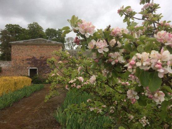 Wath, UK: Apple Blossom in walled garden April 2017