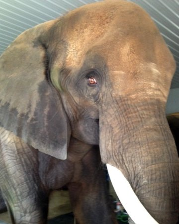 Paoli, IN : One of the amazing elephants