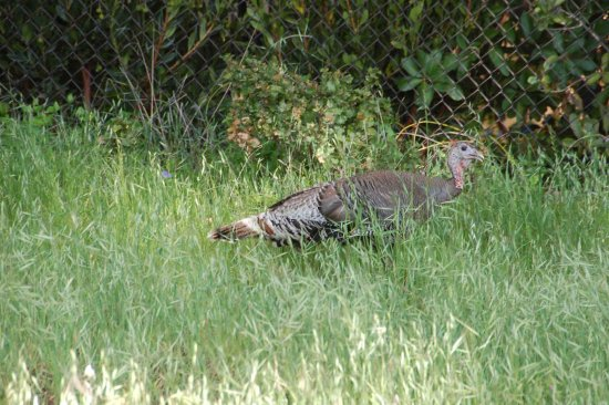 Los Altos Hills, CA: wild turkeys