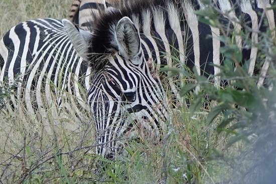Londolozi Private Game Reserve, South Africa: Zebra in the bush
