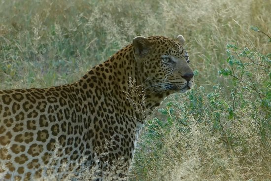 Londolozi Private Game Reserve, Sudáfrica: Leopard of Londolozi