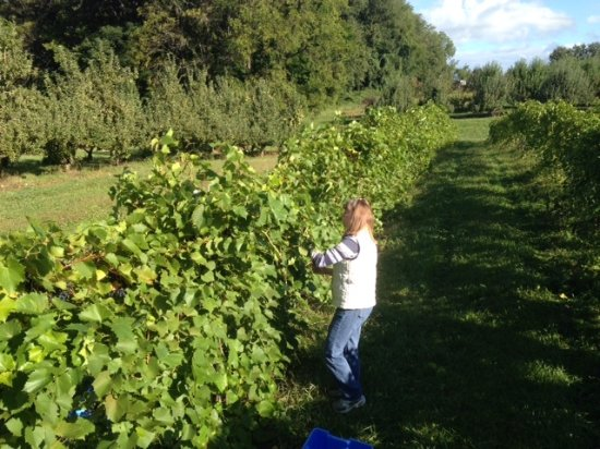 Bristol, IN: Harvesting Marquette grapes