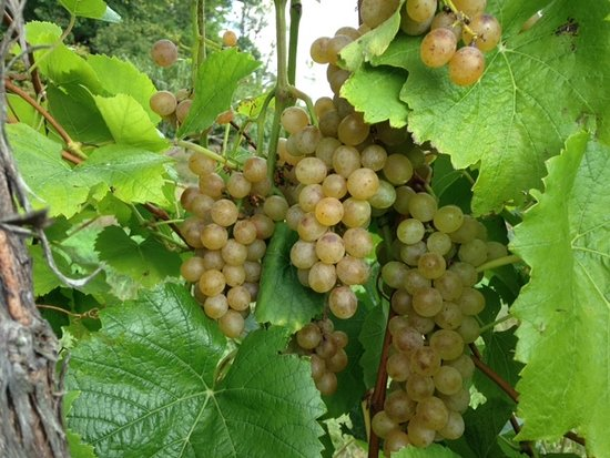 Bristol, IN: Traminette grapes