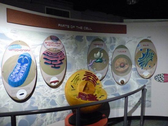Fleet Science Center: Cell Exhibit
