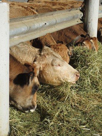 Saint-Bonnet en Champsaur, Frankreich: Vaches ferme de la Mourière