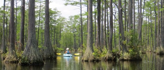 Cheraw, SC: Kayaking on Juniper Lake, through the cypress trees.