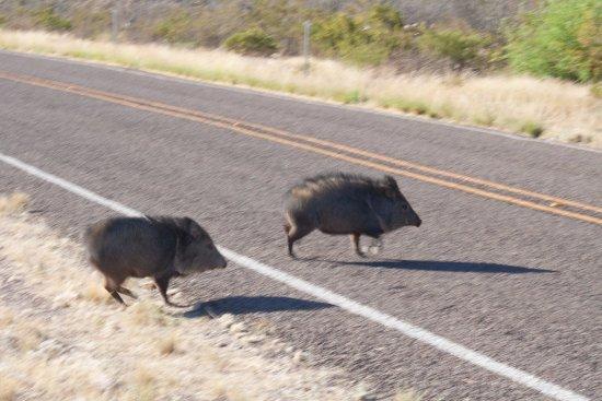 Lajitas, TX: Javalinas on the road