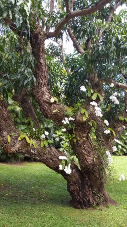 Haiku, HI: tree with orchids growing