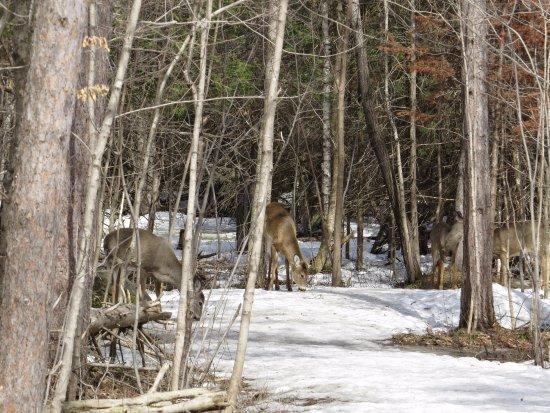 National Capital Greenbelt: Deer on the nature trail.