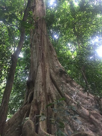 Samasati Retreat & Rainforest Sanctuary: 800 year old tree you can meet on one of the on property hiking trails