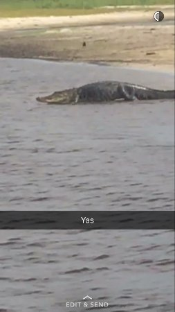 Ray's Airboat Rides: Big gator