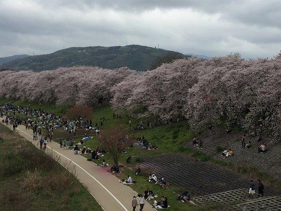 Yodo Riverside Park Sewaritei District: 淀川河川公園背割堤地区の桜