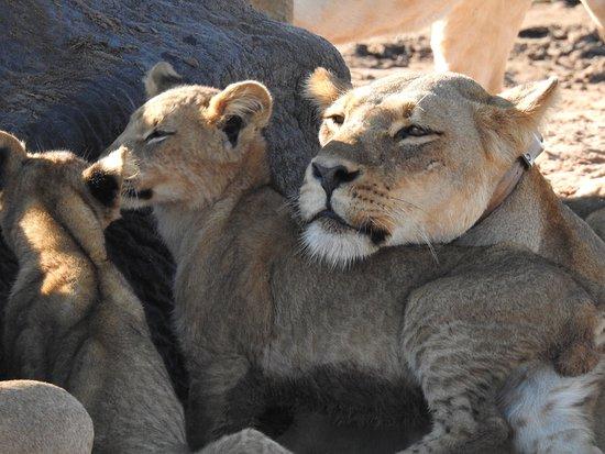 Ngoma Safari Lodge: Mother and cub time