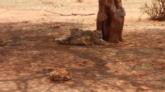 F. King Tours and Safaris - Day Tours: Lions on the first day