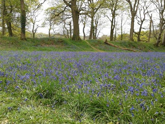 Colyton, UK: Some many beautilfull bluebells