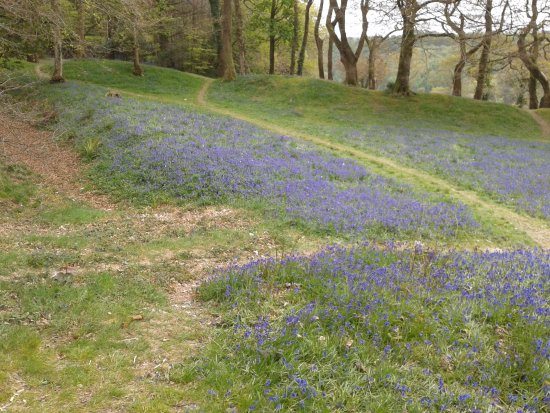 Colyton, UK: More bluebells