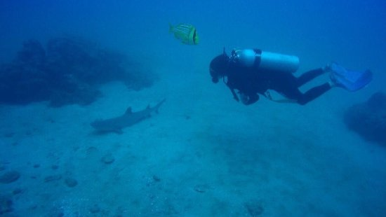 Drake Bay, Costa Rica: Tiburón de punta blanca
