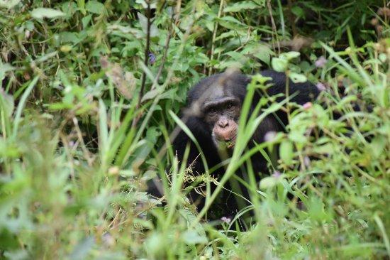 Guinea: Wild chimpanzee