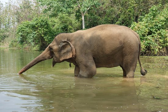 Sayaboury, Laos: An elephant drinking water.