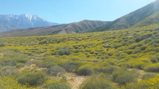 Yucca Valley, CA: Yellow flowers everywhere