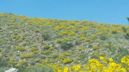 Yucca Valley, Califórnia: brittle-bush
