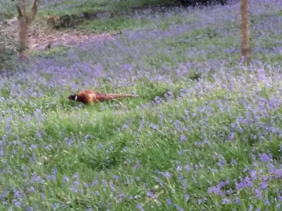 Haywards Heath, UK : Bluebells and pheasants
