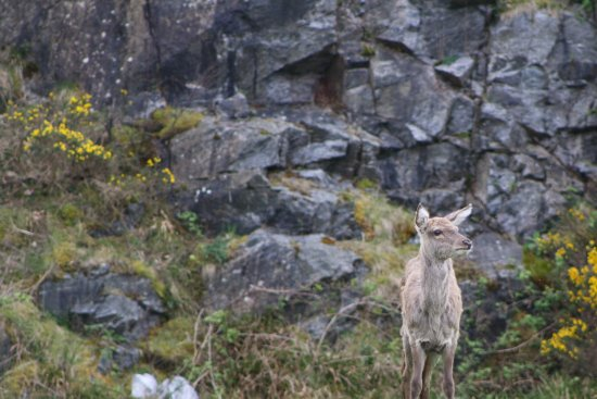 Deer right outside the cottage - Picture of Lochinver ...