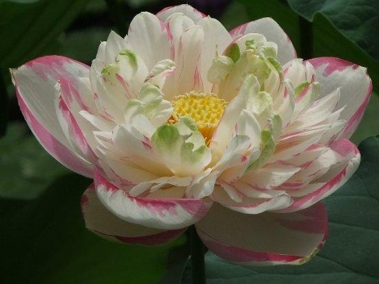 sacred lotus blossom waterlily house kew gardens richmond