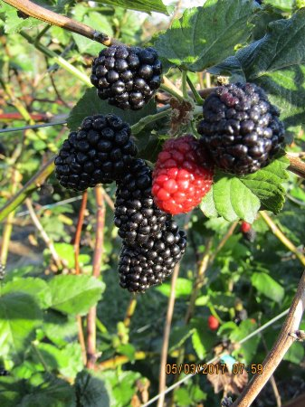Oxford, Flórida: Sweet, juicy blackberries