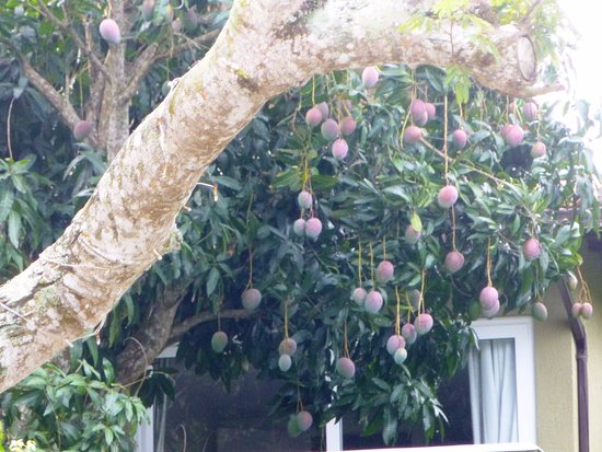 Pousada Saint Germain: Vista de frutales del vecino desde el patio. Mangos!