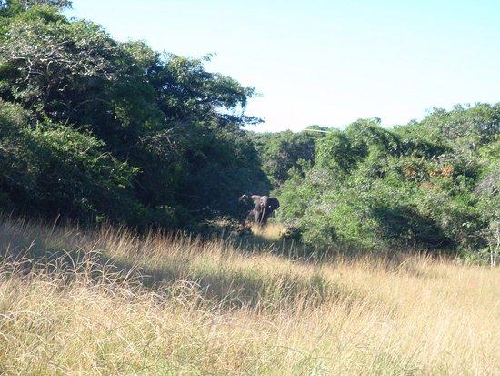 Maputo Elephant Reserve (Reserva Especial de Maputo): Elephant