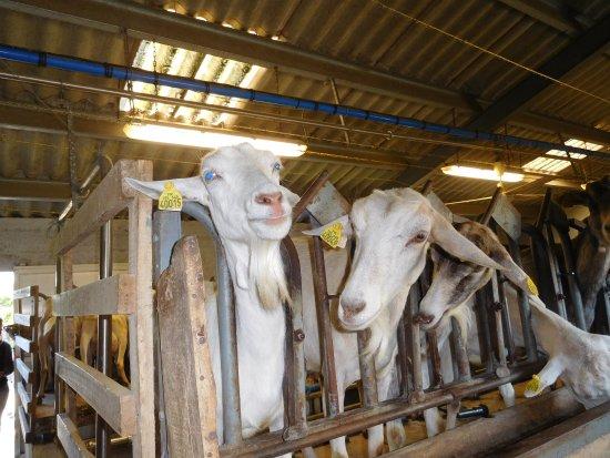 Loix, France: La traite des chèvres