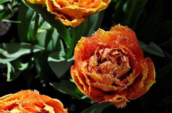 keukenhof flores preciosas - Fotos De Flores Preciosas