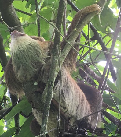 Sarapiqui, Costa Rica: Fantastic wildlife- two toed sloth, basilisk and white collared mannequin