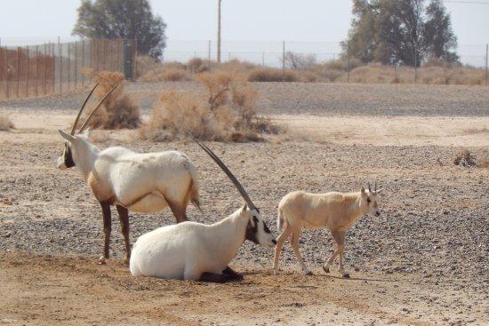 Zarqa Governorate, Jordan: Arabian Oryx