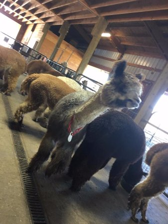 Molalla, OR: It's a pack of Alpacas!