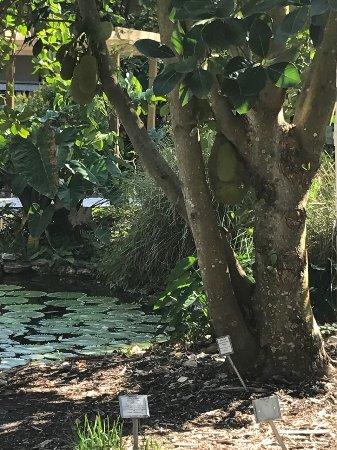 North Fort Myers, FL: Tree full of lovely jack fruits