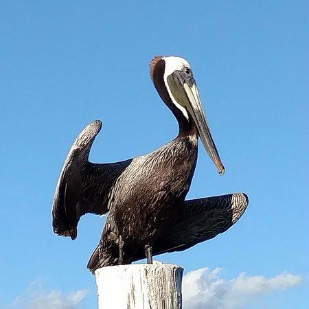 Bait House : Posing pelicans