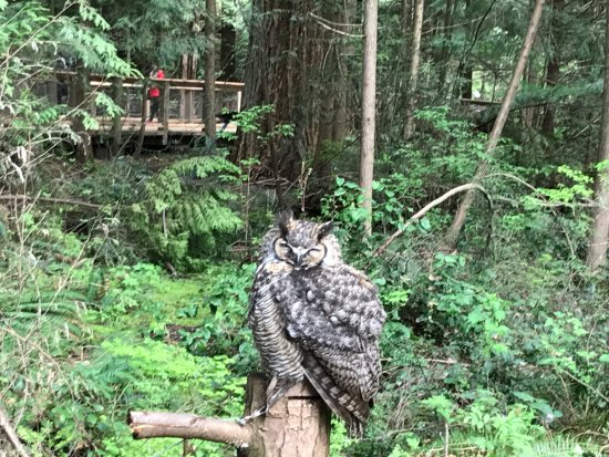 North Vancouver, Canadá: A Great Horned Owl was on display in the Park