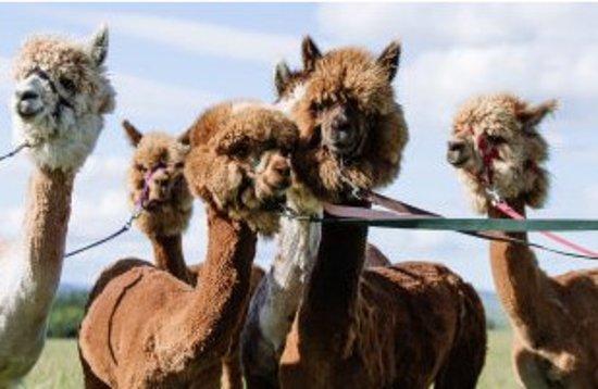 Borgue, UK: Senwick Alpacas