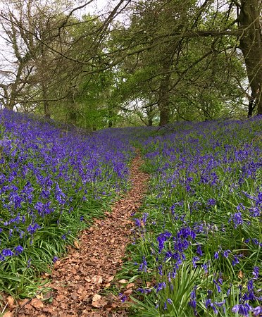 "Bettws Newydd, UK: Magnificent bluebells May 3/17 at the Iron Age Fort ""Coed y Bwnydd"""