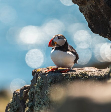 Fife, UK: Lovely Puffins